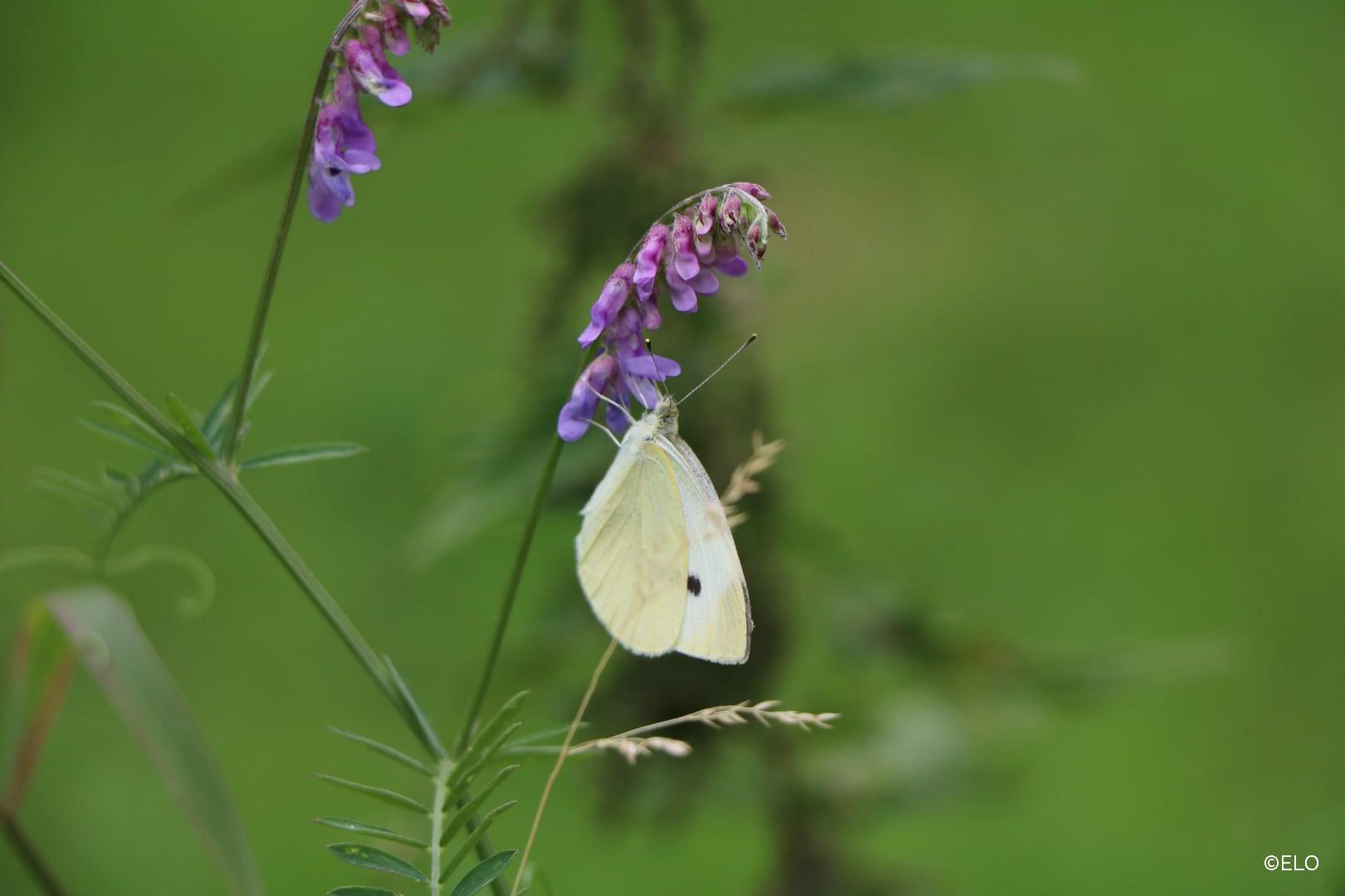 Papillon sur un arbre à papillon
